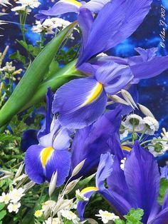 A Blue Iris Weekend...