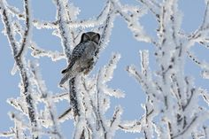 Hawk owls are used to very cold winter conditions. When Jari took this photograph the temperature was - © Jari Peltomäki Photography Tours, Wildlife Photography, Owl Photos, Bird Watching, Bats, Bald Eagle, Finland, Winter Wonderland, Safari