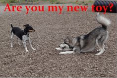"""""""Are you my new toy?""""  Rat Terrier & Husky pup  (they were playing for 1/2 an hour!)"""
