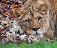 The LionessbyJosef Gelernter
