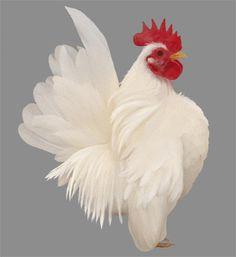 Serama White Hen, Pigeon, Karma, Feathers, Prince, Birds, Chicken, Unique, Ideas