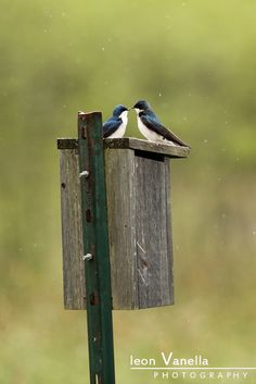 A mated pair of flycatchers wait out the rain at the Gilsland Farm Audubon Center in Falmouth, Maine