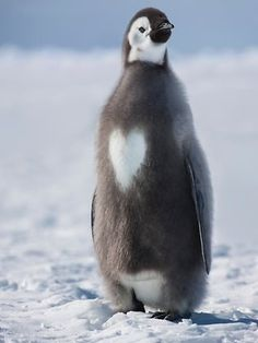 emperor penguin chick with love heart bib--like how sweet is that?!