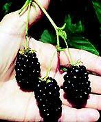 Buy Triple Crown Blackberry Plants online at Greenwood Nursery