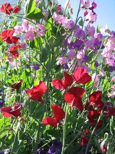 Sweet peas. they have such a beautiful fragrance.