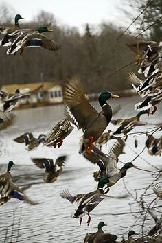 Beautiful mallards.