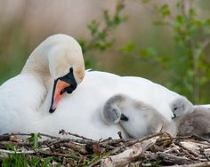 Each day we bring the best photos of the animal kingdom, baby animals of all species! Swan Love, Beautiful Swan, Beautiful Birds, Animals Beautiful, Beautiful Family, Nature Pictures, Beautiful Pictures, 4k Wallpaper Android, Mobile Wallpaper