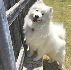 36 Samoyed Saturday Dog Samoyed Photos Who doesnt love cute dogs and are some of the cutest. Cute Baby Animals, Animals And Pets, Funny Animals, Cute Puppies, Dogs And Puppies, Cute Dogs, Doggies, Beautiful Dogs, Animals Beautiful