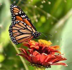Monarch Butterfly - Danaus plexippus  The Washington Post ...