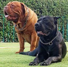 #italianmastiff and just a #mastiff Really Big Dogs, I Love Dogs, Cute Dogs, Mastiff Breeds, Dog Breeds, Mastiff Puppies, Pitbull, Massive Dogs, Real Dog