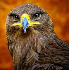 ~~European Eagle by Edgar Barany~~love the colors! Pretty Birds, Love Birds, Beautiful Birds, Animals Beautiful, Animals And Pets, Cute Animals, Where Eagles Dare, Nature Artists, All Gods Creatures
