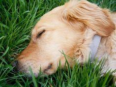 Golden Retriever: Mode- und Familienhund — Bild: Shutterstock / Emily Skeels    www.einfachtierisch.de