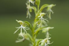Habenaria-lacera - See it at The Orchid Show www.chicagobotani...