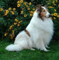 Another mostly all-white beauty. This Collie is simply gorgeous!