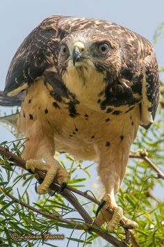 Texas Parks and Wildlife shared Luciano Guerra's photo.  Good morning! This curious juvenile Swainson's Hawk peers out from a golf course in Mission, Tx