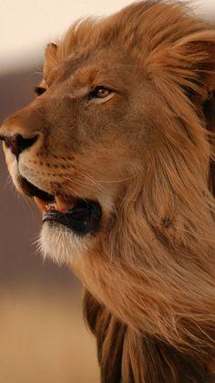 Resultado de imagem para lion wallpaper iphone
