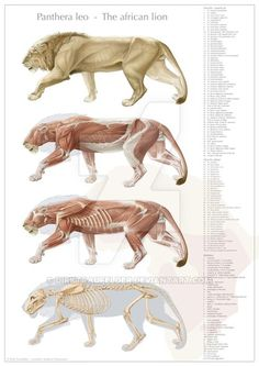 Anatomy Drawing Male This is a series of drawings of a male lion's anatomy ranging from skeletal to muscular to a complete drawing. Lion Anatomy, Animal Anatomy, Anatomy Study, Anatomy Drawing, Anatomy Art, Guy Drawing, Anatomy Reference, Animal Sketches, Animal Drawings