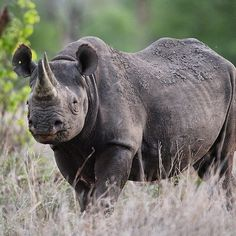 Black Rhino! Those are sooo feisty and full off character. Unfortunately it's not enough to keep them from vanishing from this earth because of man's greed.   #malilangwe