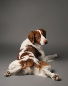 Brittany Spaniel - Personality Dog Photographer | The McCartneys Dogs
