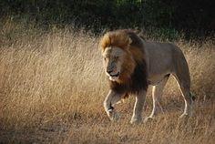Leijona, Etelä Afrikka, Afrikka, Safari