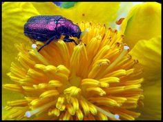 unidentified purple beetle from Australia