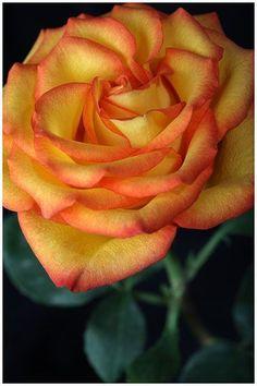 Orange Blossom Rose by Evanita W. Montalvo ( My favorite rose) Amazing Flowers, Beautiful Roses, My Flower, Beautiful Flowers, Macro Flower, Pretty Roses, Orange Roses, Orange Blossom, Orange Yellow