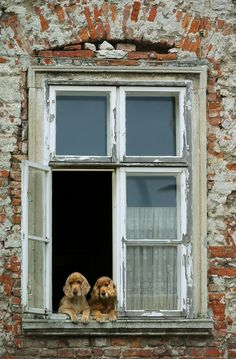 Cocker Spaniels looking at the owners as they arrive home