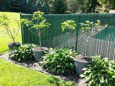 Potted Fig Trees via Italian Gardening