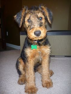 Airedale Terrier, Louie, at 10 weeks. How can you not LOVE that face?