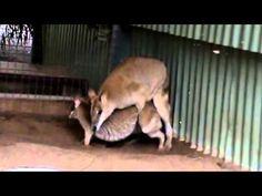 Kangaroos making babies  https://www.youtube.com/channel/UCycxyMVfUpRDV9qPKwUhGmQ