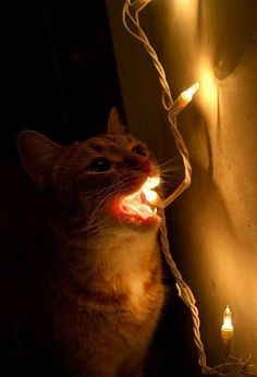 I know a kitty who did this and now my christmas lights don't work anymore...hmm