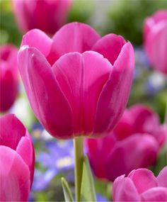 Tulips have always been and will always be my favorite flower. Especially pink tulips!