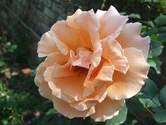 Peachy rose.