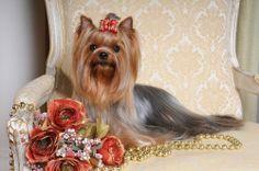 PEDRO HITOMI OSERA: 10 raças de cachorros apartamento: Yorkshire e Lha...