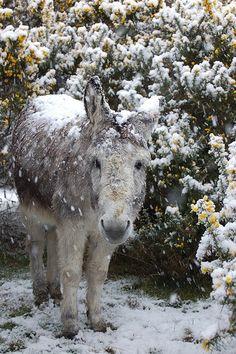 Fresh Farmhouse. Snow covered donkey.