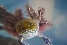 Axolotl Salamander~