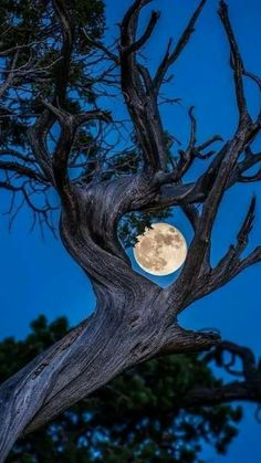 'The soft green earth grows a crooked tree with a bright blue moon for all to see. Moon Pictures, Nature Pictures, Pretty Pictures, Moon Pics, Shoot The Moon, Moon Photography, Belle Photo, Amazing Nature, Night Skies