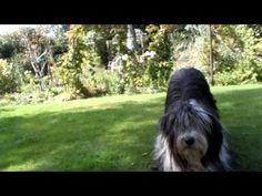 Tiffin - Bearded Collie - Lazy Dog Tricks - YouTube