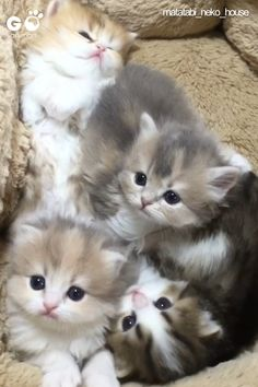 Go Animals Online Shop - Where Pets Feel at Home Baby Animals Super Cute, Cute Baby Cats, Cute Little Animals, Cute Cats And Kittens, Cute Funny Animals, Birman Kittens, Ragamuffin Kittens, Cutest Babies, Pics Of Kittens