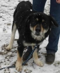 Kraven is an adoptable Akita Dog in Rome, NY. Hi, my name is Kraven! I'm a handsome, 5 year old, neutered male, black and tan akita mix. I'm sweet and lovable once I get to know you, but I am a litt...