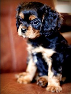 Cavalier King Charles Spaniel puppy. Black and tan colouring.:
