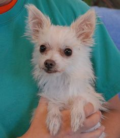 Mr. Universe is an extra-tiny, 3-pound young boy who loves to be babied and pampered.  A gentle home is ideal and we hope he never loses his innocent wonder at the people, dogs, and world around him.  Mr. Universe is a Chihuahua & Toy mix, about 4 years of age, neutered, and debuting for adoption today at Nevada SPCA (www.nevadaspca.org).