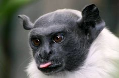 ------------------------- ------------------------- image source The pied tamarin (Saguinus bicolor) is an endangered primate species found in a restricted area in the Brazilian Amazon Rainforest. The pied tamarin's body measures 20.8–28.3 cm.; including the tail...