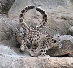 Behold the tails! Two snow leopards passing in opposite directions. Big Cats, Cool Cats, Cats And Kittens, Beautiful Cats, Animals Beautiful, Cute Baby Animals, Animals And Pets, Clouded Leopard, Snow Leopard