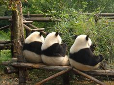 """""""True friends can do nothing together.and enjoy it. Cute Baby Animals, Animals And Pets, Funny Animals, Baby Pandas, Giant Pandas, Panda Babies, Wild Animals, Cute Creatures, Beautiful Creatures"""