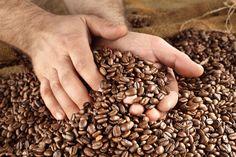Clima seco favorece colheita do café | O tempo seco tem colaborado para a colheita de café em diversas regiões do Brasil. De acordo com o segundo levantamento da safra 2017, divulgado pela Companhia Nacional de Abastecimento (Conab), estima-se que até o final de agosto a colheita chegue aos 92,6% no Brasil e 91% em Minas Gerais (maior produtor do grão).