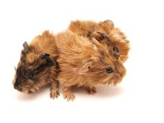 Are you going to be getting baby Guinea Pigs? Maybe one of your piggies has recently given birth. Well read about how to care for the little cuties, in the next article on whathaytofeedyourguineapigs. Baby Guinea Pigs, Guinea Pig Care, Guinnea Pig, Guinea Pig Breeding, Birth, Cricut, Pets, Animals, Animales