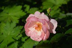 Aamun Rosario   Vesan viherpiperryskuvat – puutarha kukkii