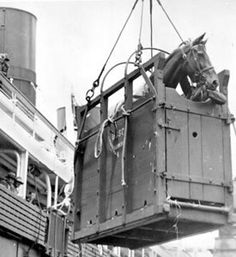 Phar Lap, with Tommy by his side in the crate, being hoisted aboard the 'Ulimaroa' on their way to New Zealand, their first stop on the long voyage to race in America.