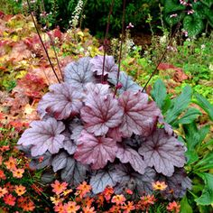 (Coral Bells) There's more to Georgia than just peaches, now introducing 'Georgia Plum' Heuchera! A magnificent new variety from the same family as 'Georgia Peach'. 'Georgia Plum' has year round color including plums, pinks, and purples. Each leaf is a rosy purple color and it has a silvery veining sheen. In midsummer, pink clusters of bell shaped flowers appear. The habit of 'Georgia Plum' is a tight, compact mound that stands 7